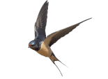 swallow-png-4